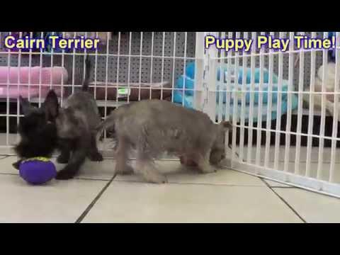 Cairn Terrier, Puppies, Dogs, For Sale, In Birmingham, Alabama, AL, 19Breeders, Huntsville, Dothan