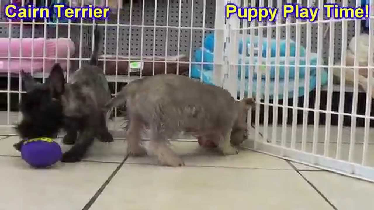 Cairn Terrier, Puppies, Dogs, For Sale, In Birmingham ...