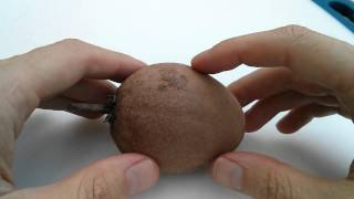 Eating a caramel fruit also called Chikoo, Chico, Sapodilla, Nasberry, Chicozapote