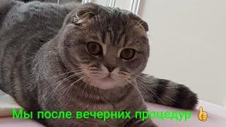 Шотландская вислоухая кошка  по имени Лотта! Вечерние процедуры :))))