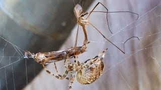vuclip Two Mosquitoes having Sex & get eaten by a fat hungry Cross Spider-Woman!(Love till the End of Life)