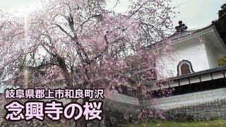 【岐阜県郡上市】和良町 念興寺の桜
