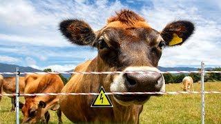 Деревенские будни - Вывели первый раз коров в ЭЛЕКТРОИЗГОРОДЬ / Семья в деревне