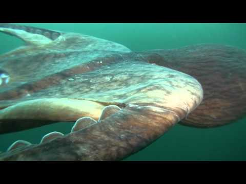 Giant Octopus Soaring With Giants