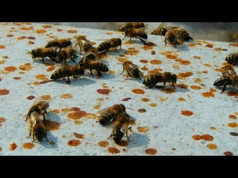 Облет пчел. пчелиные испражнения (Кал) пчел. Анализ семьи.