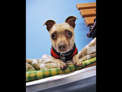 Trucker, a male Chihuahua Pug mix at Muttville