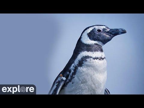 Live Penguin Camera - penguin beach | Explore org