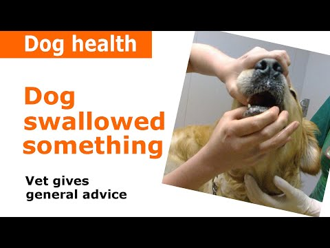 Dog Swallowed Something Stuck In Throat - Vet Advice