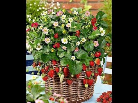 Cara Mengembangbiakan Strawberry Di Dataran Rendah Tips Berkebun Organik