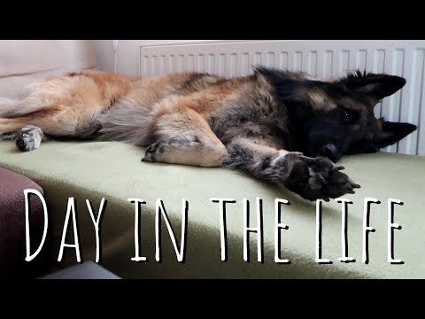 A DAY IN THE LIFE OF A DOG | Belgian Shepherd Tervuren