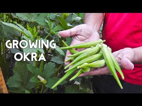 Growing Okra in Raised Beds (Gumbo, Lady