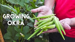 Growing Okra In Raised Beds (gumbo, Lady's Finger)