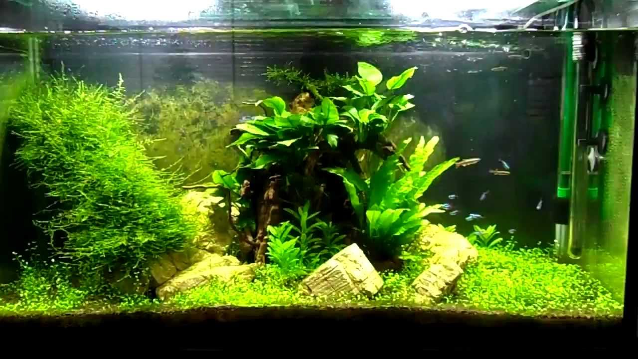 Tropical aquarium neon tetras white clouds cherry for What causes algae in fish tanks