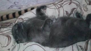 Кот спит с открытым глазами и дергает лапами и ушами