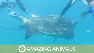 Scuba Divers Save Leatherback Turtle Trapped In Net