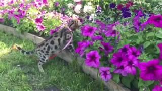 Бенгальский кот. Редкая порода. Еще одно видео Бати Вирсика. Bengal cat.