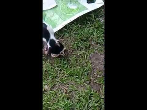 แมวโหด กินลูกตัวเอง อายุ 1 เดือนครึ่ง