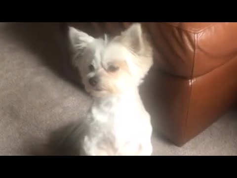 Hungry dog growls and begs for leftovers