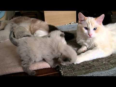 3 weeks old Ragdoll kittens