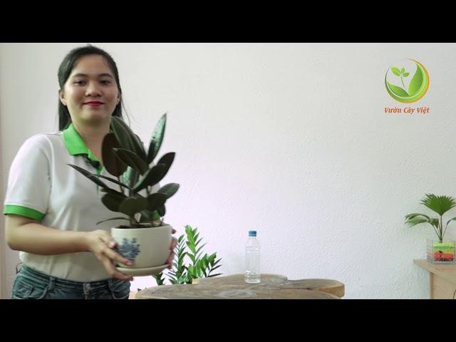 Cây đa búp đỏ : Ý nghĩa phong thủy và cách chăm sóc cây