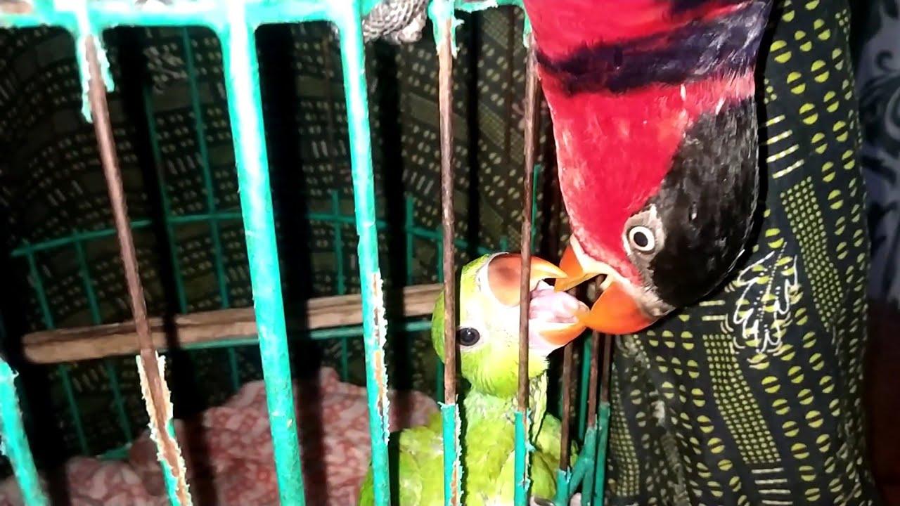റെഡ്മി റോക്കിയെ ഉമ്മ വെക്കുന്നത് നോക്കു 😄|Redmi kissing rocky|parrot talking malayalam|roccky parrot
