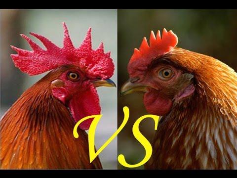 курица или петух/// как различить цыплят по полу