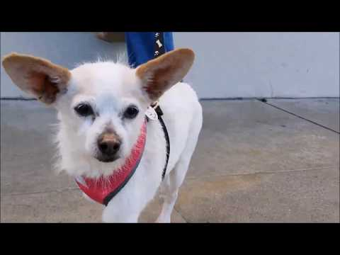 Sheriff, a Terrier mix at Muttville