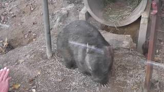 ウォンバット ウォレス君  伝説のギャグを披露?!  寛平ちゃん【東山動植物園】 Wombat Wallace Higashiyama Zoo
