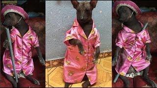 """Cô chó mặc bộ pyjama màu hồng khiến dân mạng cười """"không nhặt được mồm"""""""