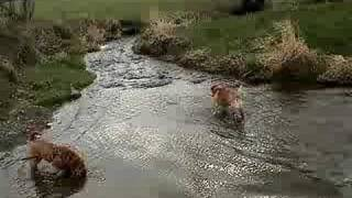 Shar Pei Likes Water