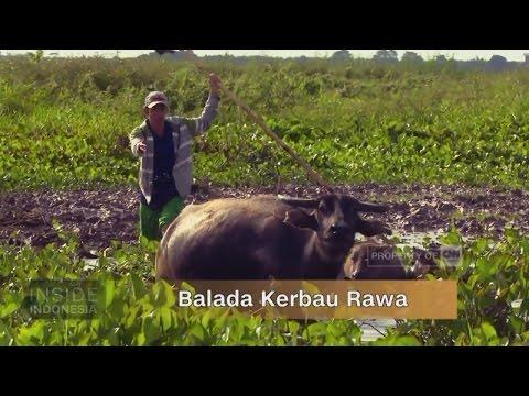 Balada Kerbau Rawa - Inside Indonesia