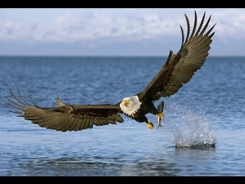 American Eagle Nature Documentary