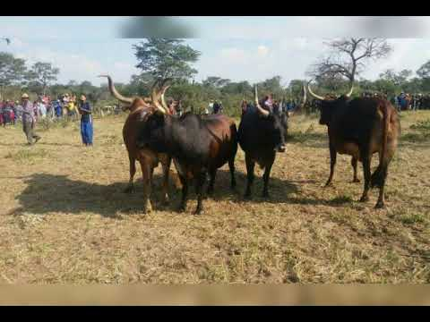 Download Kafidi ningilila ukutuke udje ketemo shivambi