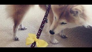 Zauważyłeś na ulicy psa z żółtą wstążką? Pod żadnym pozorem nie podchodź do niego, ważny powód   Akt