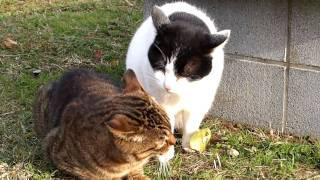 今日公園に猫を撮影しに行ったら、猫が声を張り上げていました。 2010年...