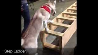 Siberian Husky Lilo's Agility!