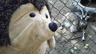 Ёжик Фуфуня и козы - познавательное видео для детей - про животных