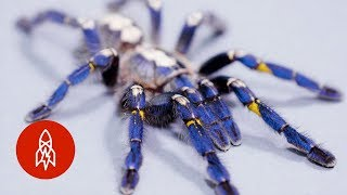 These Sapphire Tarantulas Are Losing Their Home