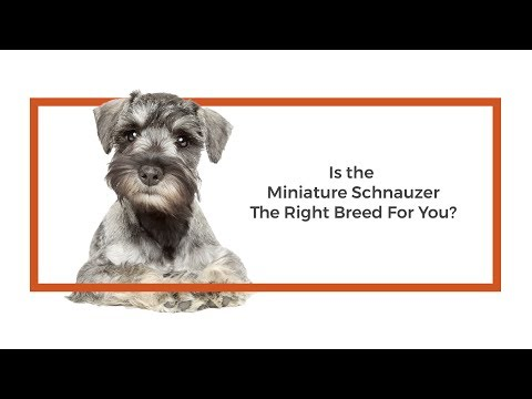 Is the Miniature Schnauzer the right breed for me?