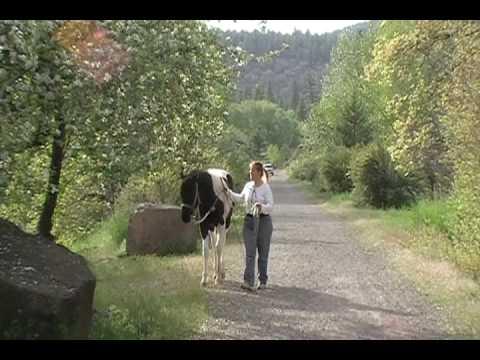Koda horse training over bridges, and in river wat...