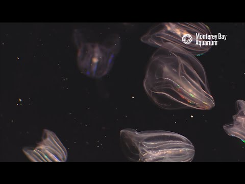 Cracking The Code Of Comb Jelly Culture!