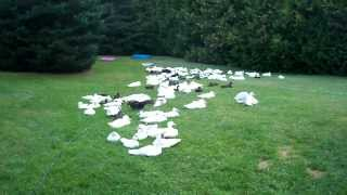 Dealing With 167 Duck's Feces Excrement In My Yard #36 Raising Ducks Day 44