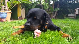 Rottweiler Eating Raw Organic Turkey Meat Wing.  Dogs Are Carnivores.