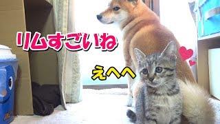 子猫の本能!カーテンスイスイ♪心配そうに見つめる柴犬---Kitten to climb the curtain---