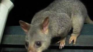 Very Friendly Brushtail Possum
