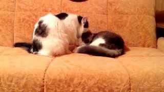 коты умываются раз