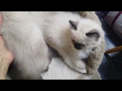 Ragdoll Kittens @ 9 weeks old. Bugsy looked dead. Scary!