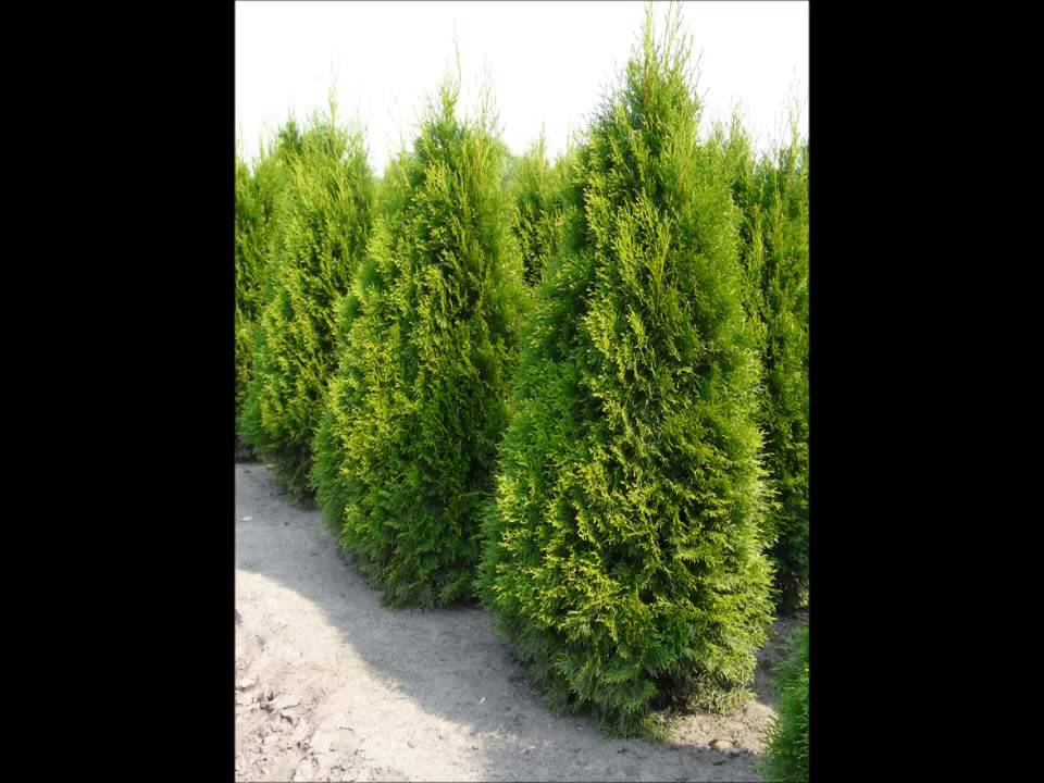 thuja occidentalis smaragd thuya du canada smaragd plantes haies youtube. Black Bedroom Furniture Sets. Home Design Ideas