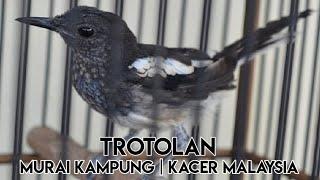 Download Lagu Kicau Burung Kacer Anakan    Murai Kampung Malaysia mp3
