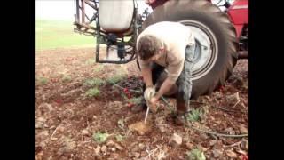 Διαδικασία φύτευσης Αρώνιας / Aronia(Chokeberry) Planting Procedure
